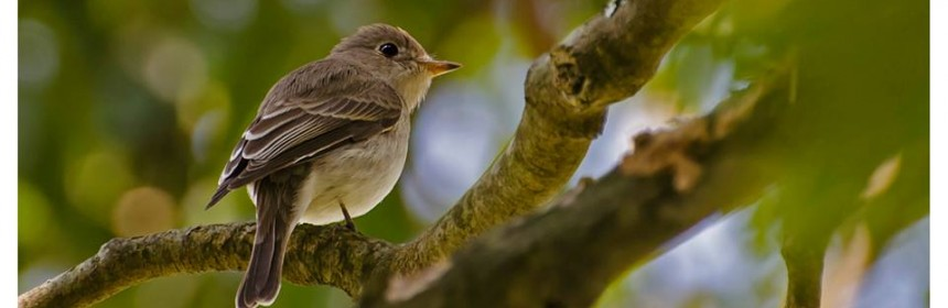 yeoor-nature-trail-Asian-Brown-Flycatcher